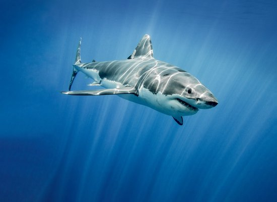 Wie gut kennst du den Weißen Hai?