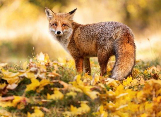 Wie gut kennst du den Fuchs?