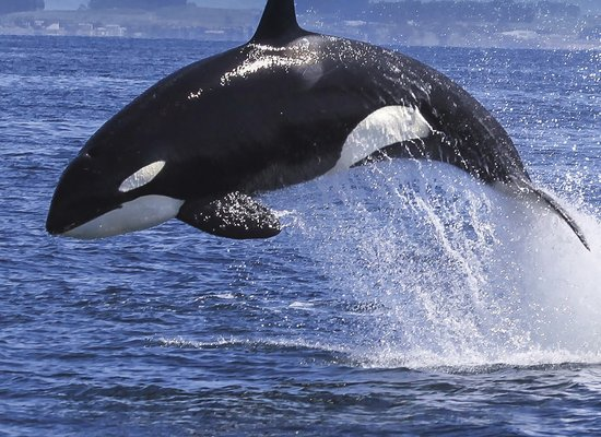 Sprichst du Orca?