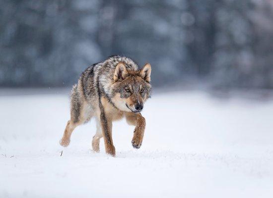 Wie gut kennst du den Wolf?