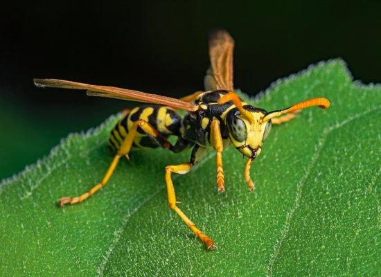 Wie gut kennst du die Wespe?